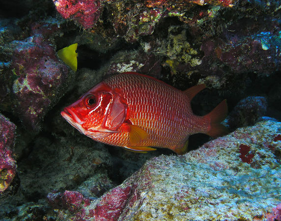 Saber Squirrelfish<br /> Sargocentron spiniferum<br /> Hawaiian name 'ala'ihi<br /> Kona Coast of the Big Island