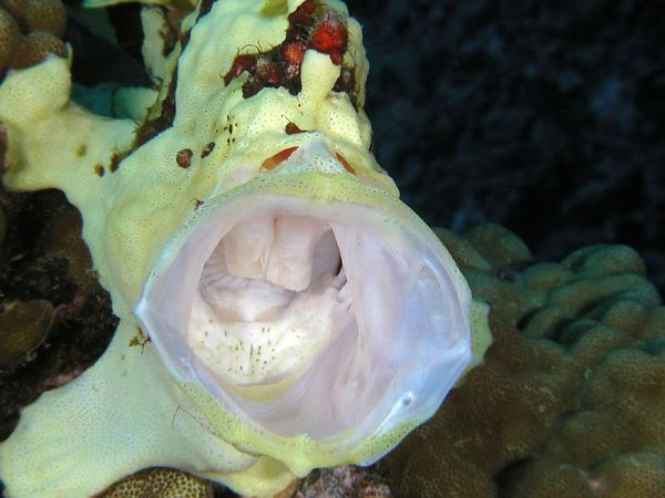 Warty Frogfish (my what a big mouth you have)<br /> Antennanius maculatus<br /> Kona Coast of the Big Island