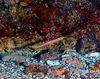 Curious Wormfish<br /> Gunnelilchthys curiosus