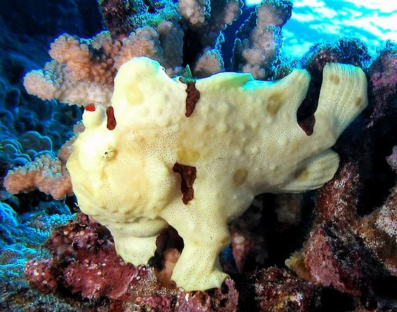 Warty Frogfish<br /> Antennarius maculatus<br /> Kona Coast of the Big Island