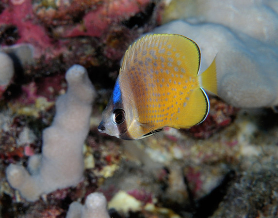 Blue Headed Butterfly fish