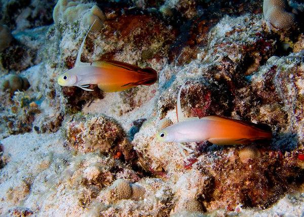 Pair of Fire Dart Fish<br /> Nemateleotris magnifica