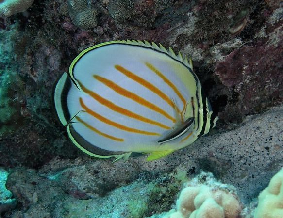 Ornate Butterflyfish<br /> Chaetodon ornatissimus<br /> Hawaiian name kikakapu