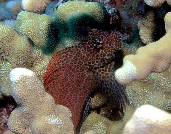 Male Shortbodied Blenny<br /> Exallias brevis<br /> Hawaiian name pao'o kauila<br /> Kona Coast of the Big Island