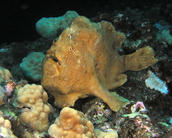 Commerson's Frogfish <br /> Also called Giant Frogfish <br /> Antennarius commerson<br /> Kona Coast of the Big Island