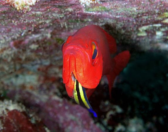 Brick Soldierfish being cleaned by a Hawaiian Cleaner Wrasse<br /> Myriprisyis amaena<br /> Kona Coast of the Big Island