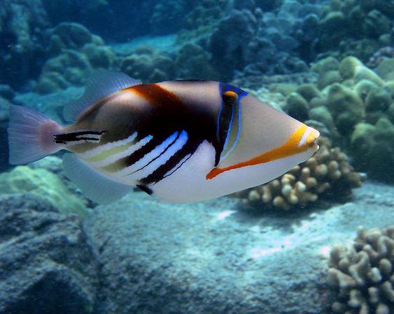 Lagoon Triggerfish<br /> Rhinecanthus aculeatus<br /> Hawaii state fish  humuhumu-nukunuku-a-pua'a