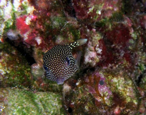 Female Spotted Boxfish<br /> Hawaiiam name moa<br /> Ostracion meleagris  (species name means Guineafowl)<br /> Kona Coast of the Big Island
