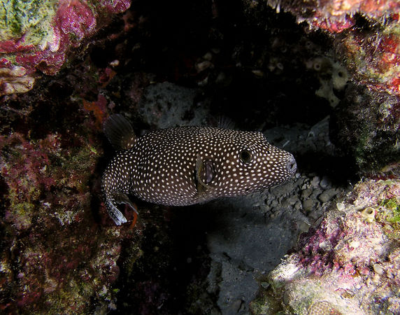 Spotted Puffer<br /> Aronthron meleagris<br /> Hawaiianname o'opu hue<br /> Kona Coast of the Big Island