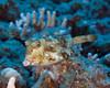 Thornback Cowfish<br /> Lactoria fomasini