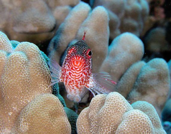 Redbarred Hawkfish<br /> cirrhitops fasciatus<br /> Hawaiian name pili-ko'a<br /> Kona Coast of the Big Island