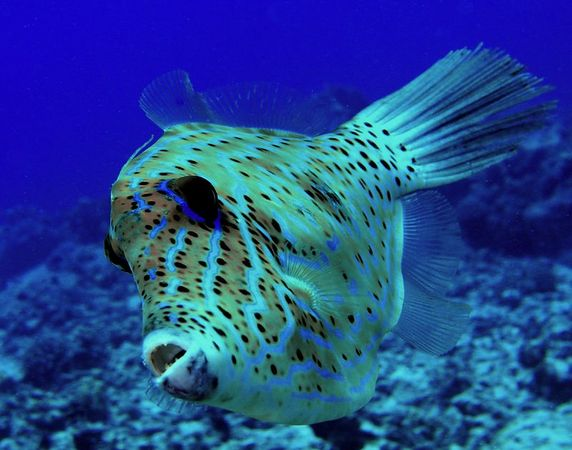 Scrawled Filefish <br /> Hawaiian name loulu<br /> Aluterus scriptus