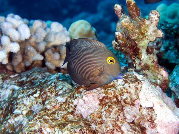 Goldring Surgeonfish<br /> Ctenochaetus strigosus