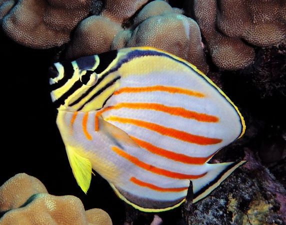 Ornate Butterflyfish<br /> Chaetodon ornatissimus<br /> Hawaiian name kikakapu<br /> Kona Coast of the Big Island