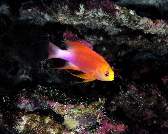 Hawaiian Longfin Anthias<br /> Pseudanthias hawaiiensis<br /> Kona Coast of the Big Island