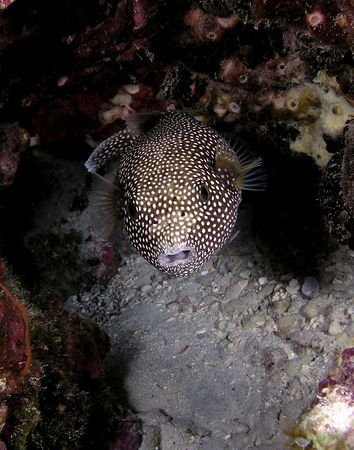 Spotted Puffer<br /> Arothron meleagris<br /> Hawaiian name o'opu hue<br /> Kona Coast of the Big Island