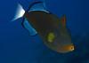 Pinktail Triggerfish<br /> Melichthys vidua