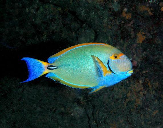 Eyestripe Surgeonfish<br /> Acanthurus dussumieri <br /> Hawaiian name palani