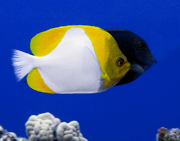 Pyramid Butterflyfish<br /> Hemitaurichyhys polylepis<br /> with a Thompson's Butterflysih in background