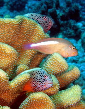 Trio of Hawkfish<br /> Two Blackside Hawkfish and One Arc eye Hawkfish<br /> Kona Coast of the Big Island