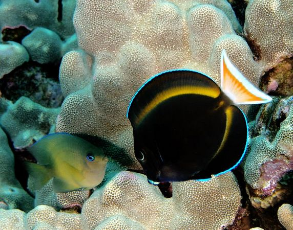 Goldrim Surgeonfish and Blue-eye Damselfish<br /> Acanthurus nigricans and Plectorglphidodon johnstonianus<br /> Kona Coast of the Big Island