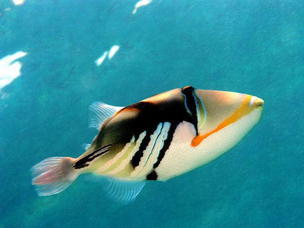 Lagoon Triggerfish<br /> Rhinecanthus aculeatus<br /> Hawaiian name humuhumu nukunuku apua'a<br /> Hawaii Stat Fish<br /> Kona Coast of the Big Island