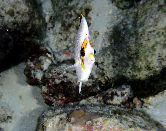 Tinker's Butterflyfish<br /> Kona Coast of the Big Island