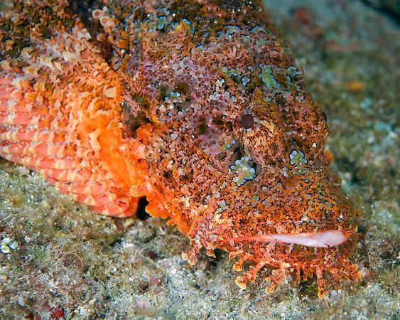 Titan Scorpionfish