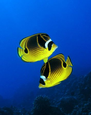 Pair of Raccoon Butterflyfish<br /> Chaetodon lunula<br /> Hawaiian name kikakapu