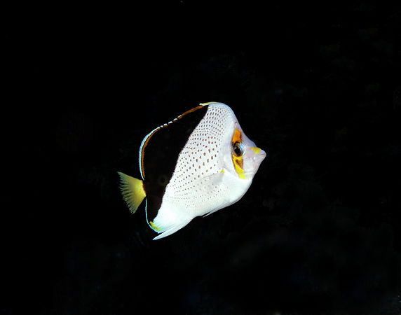 Tinker's Butterfly fish<br /> Kona Coast of the Big Island