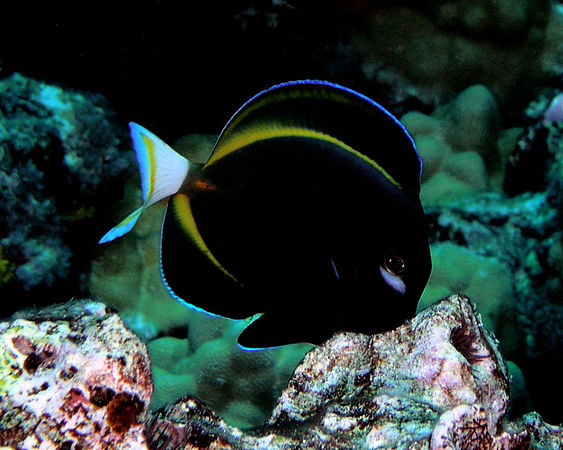 Goldrim Surgeonfish<br /> Acanthurus nigricans<br /> Kona Coast of the Big Island