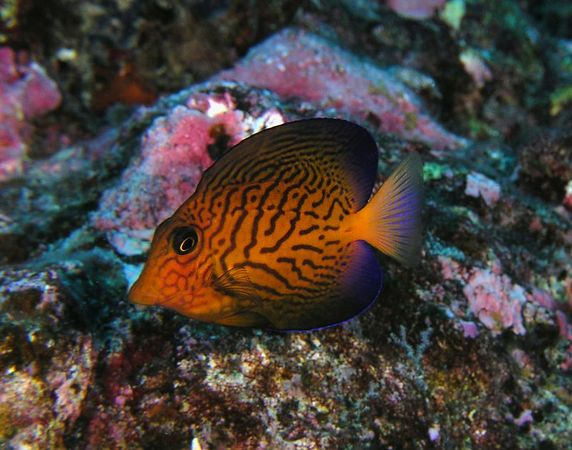 Juvenile Black Surgeonfish <br /> Ctenochaetus hawaiiensis <br /> Kona Coast of the Big Island