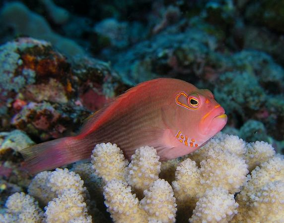Arc-Eye Hawkfish (Paracirrhites arcatus)<br /> Hawaiian name Pili-ko'a   <br /> Kona Coast of the Big Island