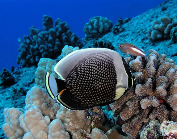 Reticulated Butterflyfish<br /> Chaetodon reticulatus<br /> Kona Coast of the Bigh Island
