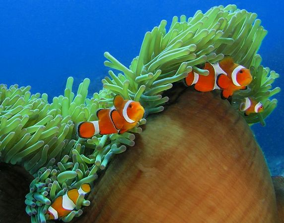 Clown fish in an Anemone<br /> Amphiprion percula, Kungkungan North Sulawesi