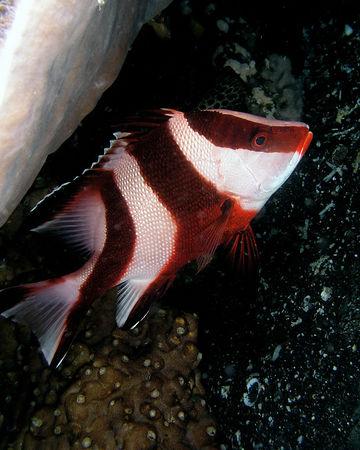 Red Emperor Snapper (juvenile sub-adult)<br /> Lutjanus sebae<br /> Lembeh Straights, North Sulawesi