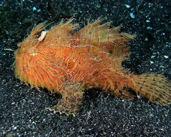Striped Frogfish - Hair version<br /> Antennanruis