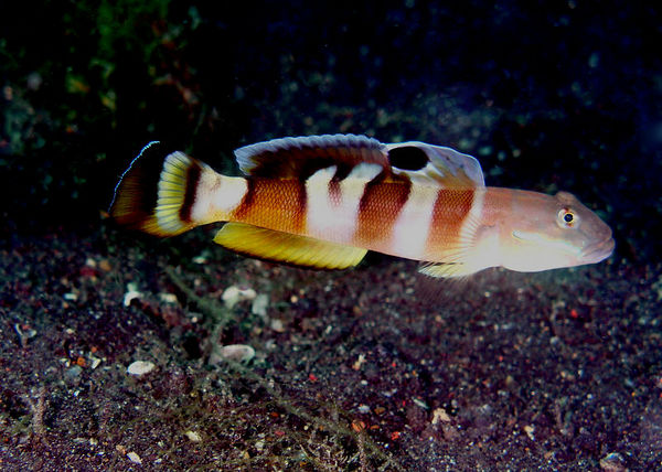 Widebarred Goby<br /> Valenciennea wardiiA