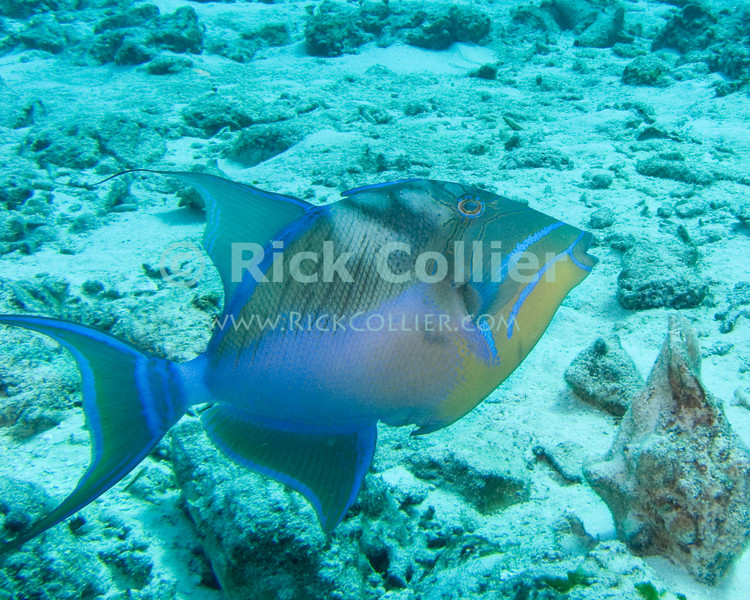 "Queen triggerfish -- A particularly spectacular fish, which is unfortunately very fast and very shy.  Sighted while Scuba diving at the ""San Clemente"" shallow dive site, off Cozumel, Mexico.   © Rick Collier"
