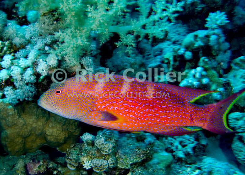 """Red Sea, Egypt -- The brightly colored Red Sea moon grouper is common. © Rick Collier / RickCollier.com.<br /> <br /> <br /> <br /> Egypt; """"Red Sea""""; vacation; travel; destination; underwater; uw; """"u/w""""; scuba; """"scuba dive""""; """"scuba diving""""; dive; diving; coral; reef; """"coral reef""""; """"dive site""""; Tiran; """"Tiran straits""""; """"straits of Tiran""""; """"Woodhouse Reef""""; Woodhouse; fish; grouper; """"coral grouper""""; """"moon grouper"""""""