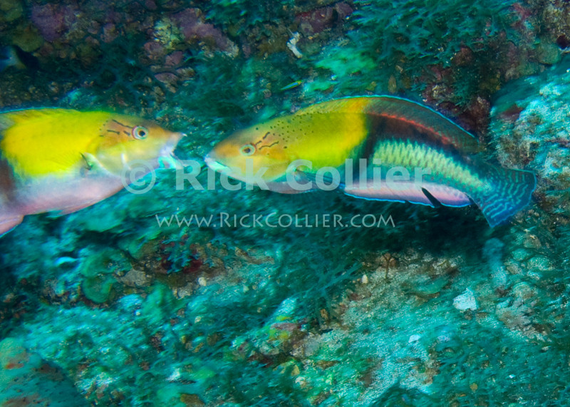 St. Eustatius (Statia) Underwater - A pair of mating fish (yellowhead wrasse) engaged in their mating dance above the reef.  © Rick Collier