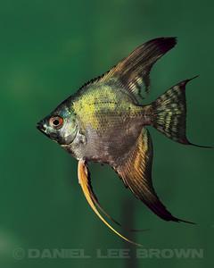 Philippine Blue/ Pinoy Smokey Angelfish, dollar size. Purchased from Damon Cartmell, 8-1-11. My fish