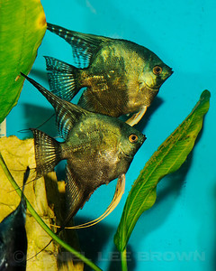 Philippine Blue/ Pinoy Smokey Angelfish pair with eggs, 9-26-11. Cropped image. My fish