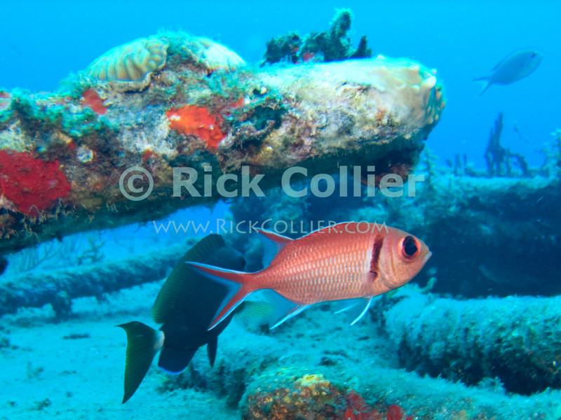 "A black bar soldierfish waits under cover atop a sunken barge.  St. Eustatius (Statia), Netherlands Antilles.<br /> <br /> <br /> <br /> <br /> ""St. Eustatius"" ""Saint Eustatius"" Statia Netherlands Antilles ""Lesser Antilles"" Caribbean underwater diving ocean SCUBA dive diver wreck barge fish soldierfish ""soldier fish"""