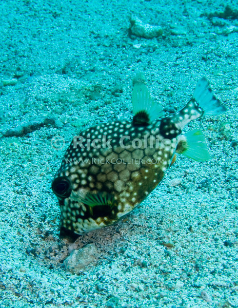 St. Eustatius (Statia) Underwater - Often seen by scuba divers, these fish (smooth trunkfish) are pretty common in Caribbean waters.  This one is  foraging on the sandy bottom.  © Rick Collier