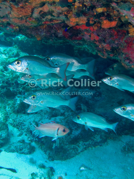 "A school of fish hide under an overhanging reef.  St. Eustatius (Statia), Netherlands Antilles.<br /> <br /> <br /> <br /> <br /> ""St. Eustatius"" ""Saint Eustatius"" Statia Netherlands Antilles ""Lesser Antilles"" Caribbean underwater diving ocean SCUBA dive reef coral fish school"