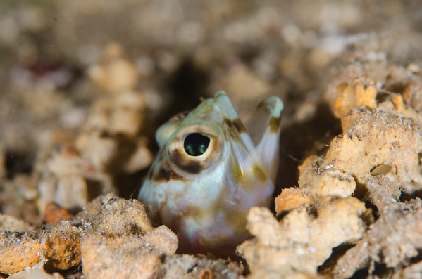 Jawfish at White Beach