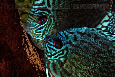 Red Turqouise Discus pair My fish
