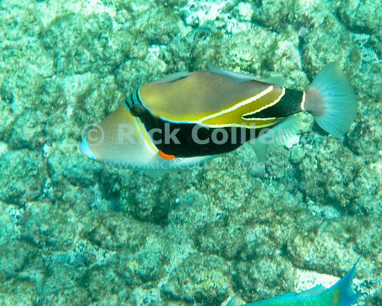 A lagoon triggerfish.  Kahaluu Bay, Kona side, the Big Island, Hawaii.<br /> <br /> <br /> <br /> <br /> <br /> Hawai'i Hawaii Kahaluu Bay big island underwater snorkel snorkeling scuba u/w reef coral trigger fish lagoon triggerfish