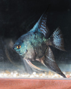 Philippine Blue/ Pinoy Smokey, 10-25-11. Cropped image. My fish